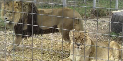 Wisconsin Big Cat Rescue Thumbnail Image
